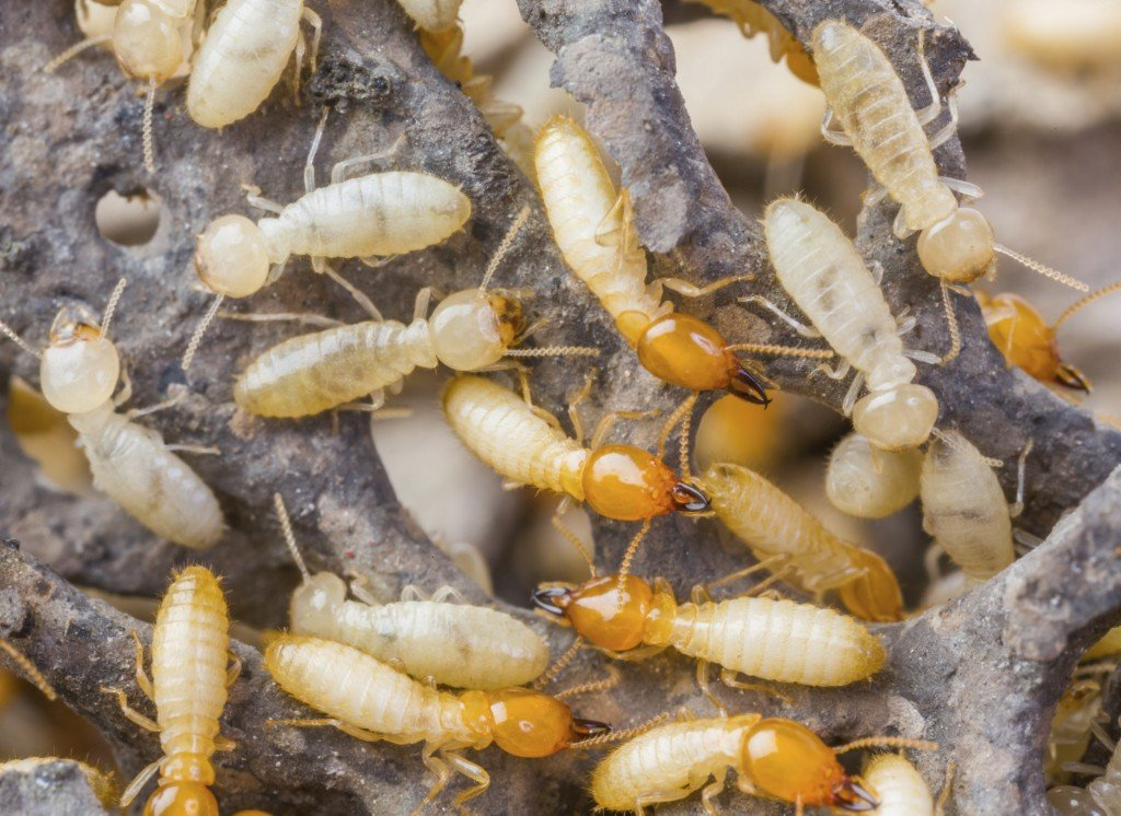 Termites; Are You Unwillingly Welcoming Them Into Your Home?